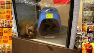 Как тайский кот Оскар пытался спрятаться на выставке кошек в Караганде! Тайские кошки - это чудо! Fu