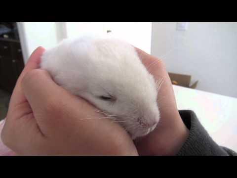 Baby Chinchilla Massage