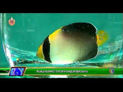 คลินิก เกษตร | สินสมุทรมัดหมี่ จากปลาทะเลสู่ปลาตู้สวยงาม | 17-04-58
