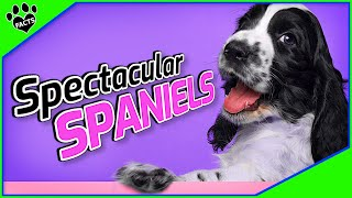 10 Spectacular Spaniel Dog Breeds