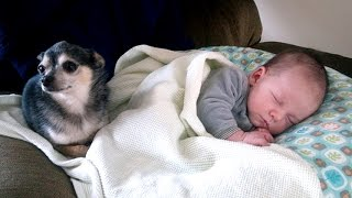 Little Chihuahua protects and takes care Baby | Dog is the best nanny of Baby