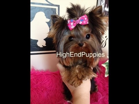 micro teacup adult  full grown yorkshire terrier female girl  'FENDI'