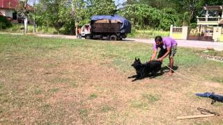 Young German Shepherd Puppy Bite Work Training