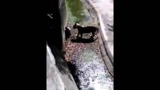 Нападение тигра на человека в зоопарке