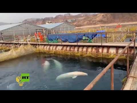 Rusia restaura mejora las condiciones de vida de sus ballenas en el Lejano Oriente