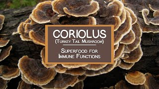 Coriolus (Turkey Tail Mushroom), A Potent Superfood for Immune Functions