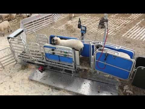 Te Pari Racewell HD3 - Sheep Handling - Shearwell Data UK