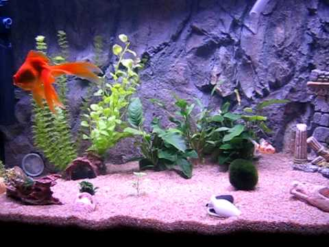 250 liter aquarium with 4 fantail goldfish 2 ancistrus youtube. Black Bedroom Furniture Sets. Home Design Ideas