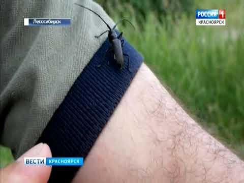 Лесосибирск переживает нашествие жуков-усачей
