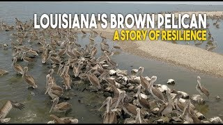 Louisiana's Brown Pelican: A Story of Resilience