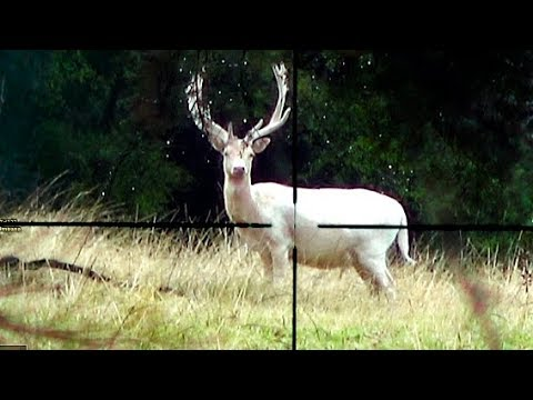#waikarimoana Hunting Two Fallow Deer In New Zealand # 222,, And Deer Tracking.