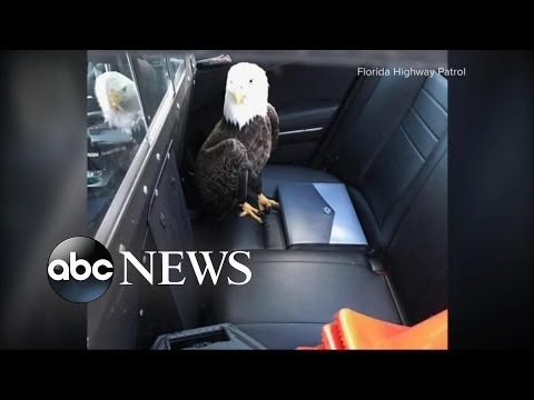 Index: Florida Officer Saves Bald Eagle Injured After Crashing Into Jeep