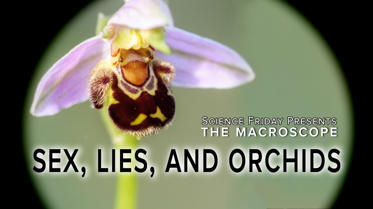 Wasp pollinating a sexually deceptive orchid
