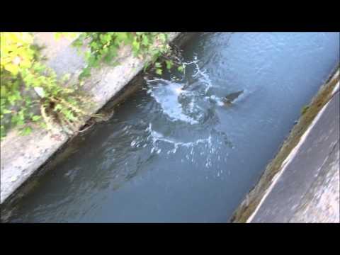 用水路で釣れまくり ⑤ こんな魚が簡単に釣れる用水路