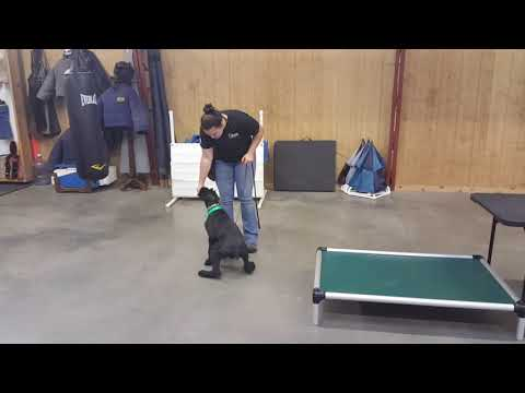 """Giant Schnauzer Puppy """"Kosmo"""" 5 1/2 Mo's Obedience Agility Tricks Dog For Sale"""