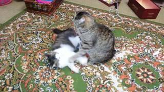 Подобрали котенка. Тимон. 1,5 месяца дома. Воспитательная работа.