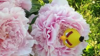 Angry birds на даче. 6 серия. Красивые цветы.