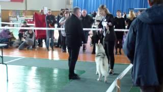 22.04.2017 г. г.Новочебоксарск,Региональная выставка собак,ринг хаски, ЛС,BOS Джин.