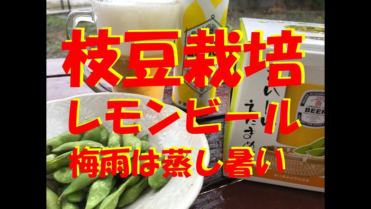 【枝豆栽培キット】レモンビールを飲みながら枝豆栽培!梅雨は蒸し暑い!