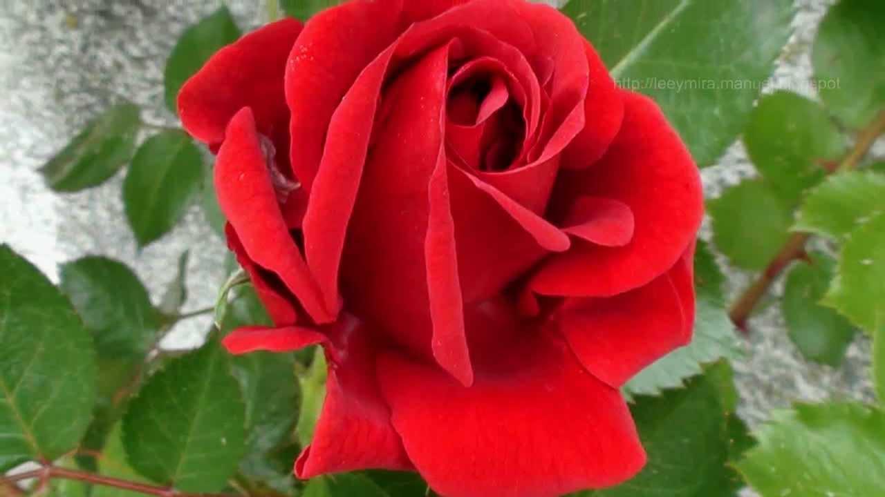 Rosas flores youtube - Fotos de flores bonitas ...