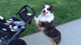 Dog Walking Baby in Stroller!