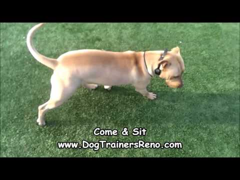 Pit Bull Shows Off Amazing Obedience; Reno Nevada Dog Training Expert