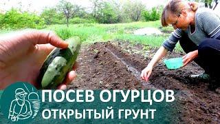 Когда высаживать огурцы в мае 2021 года в открытый грунт по лунному календарю