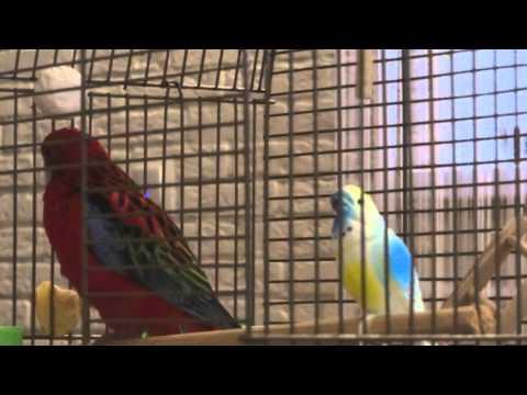 Попугай розелла поет, или пластиковая любовь 2...