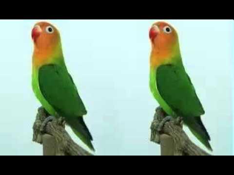 Suara Masteran Lovebird Gacor Ngeriwik Lobet Ngekek Panjang