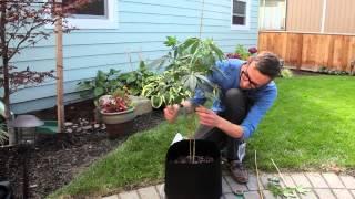 Marijuana plant maintenance: Bending and pruning tutorial