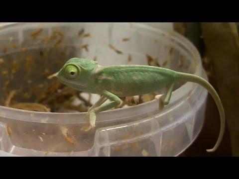 Cute baby chameleons eat fruit flies (Ch. calyptratus) [Inferion7]