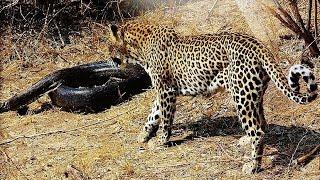 леопард против питона - 2015