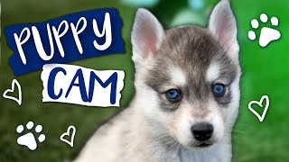 Toy Size Klee Kai Puppies!