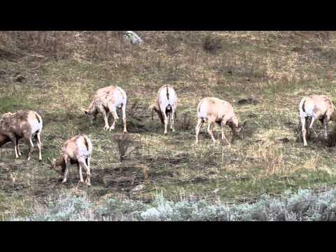 Bighorn Sheep in Lamar Valley in Yellowstone