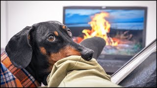 Quarantine Camping! Cute & funny dachshund dog video!