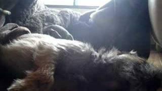 Border Terrier, Graham Singing5 @kotatsu