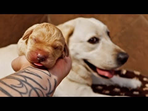 4 Day Old Yellow Labrador Puppies Youtube