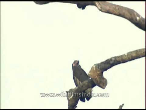 A dying breed - King Vultures atop a tree
