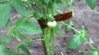 Как подвязать помидоры Легкий способ с помощью пластиковой бутылки(Подрастают наши помидорки и их нужно вовремя подвязать ,чтобы они не падали на землю.Ну ,а пластиковая бутыл..., 2016-07-01T14:34:30.000Z)