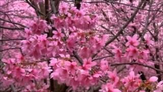 цветущая вишня(, 2014-01-05T21:20:06.000Z)