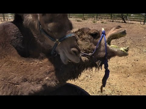 Camel vs. Camel: Animal Attack Unedited (VLOG)