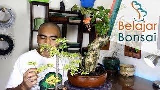 Cara Supaya Bonsai Kembang Kertas  (Bougainvillea) Berbunga