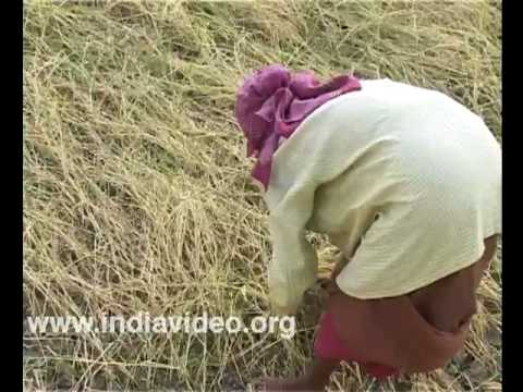 Harvest of Njavara, the medicinal paddy