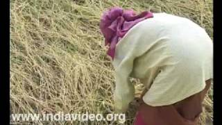 Navara rice cultivation, harvesting, organic farming, responsible tourism, Palakkad, Kerala