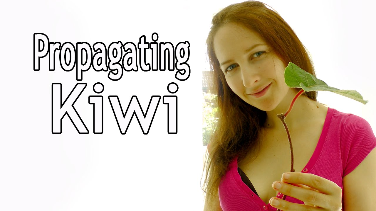 how to grow kiwi from cuttings