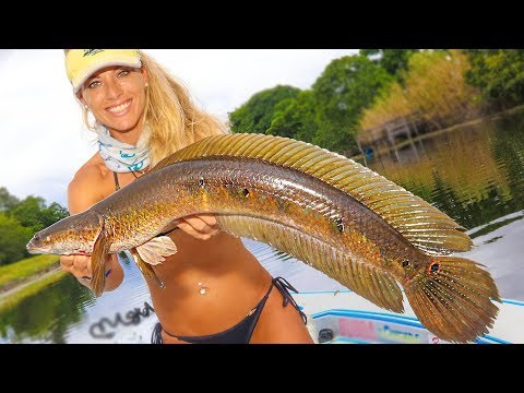 SNAKEHEAD (Catch Clean Cook) Florida's Most INVASIVE Species! Shocking Results!