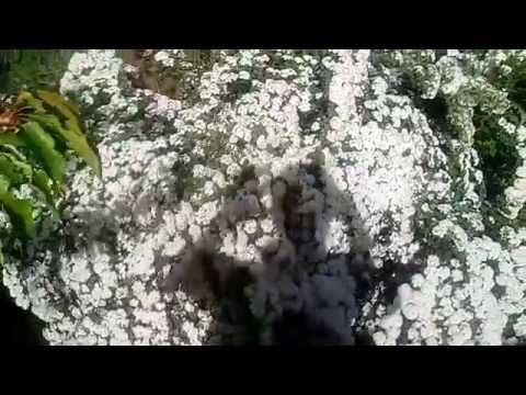 шикарный куст Невеста цветет 16 мая 2015