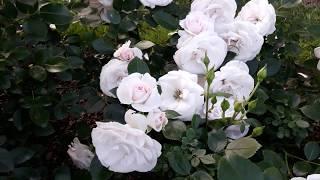 ✿➽  Розы в нашем саду август