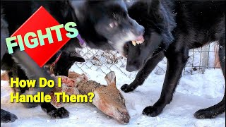 How Do I Handle Dog Fights Over RAW Food?  Pack Feeding Video