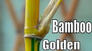 How to Grow Golden Bamboo | How to Propagate Bamboo Shoots | Evergreen Plant (Urdu/hindi)